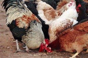 Chickens_feeding