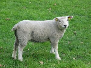 Lamb_nl