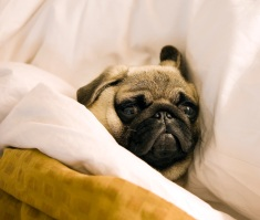 Pug_lying_in_bed_with_its_head_on_the_pillow